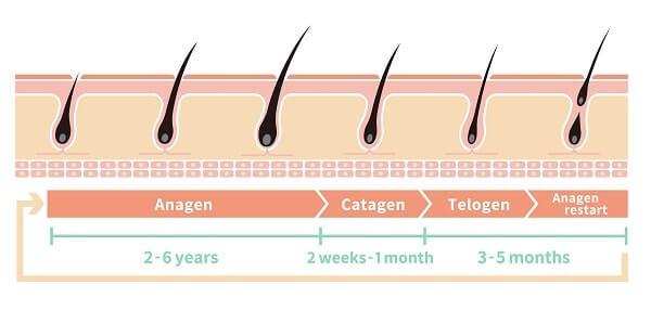 accelerateur de barbe : cycle de vie du poil